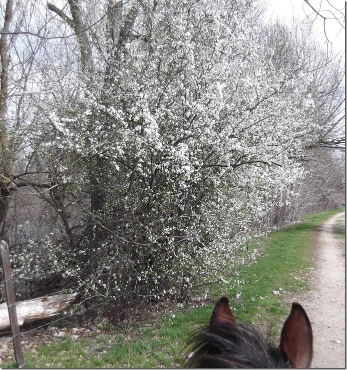 Popcorn Tree