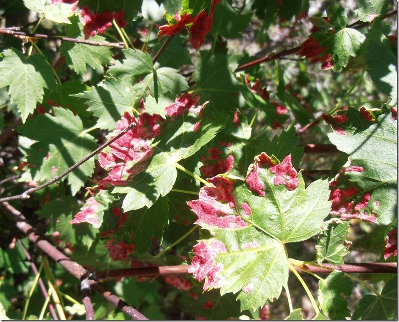 Red velvet vines