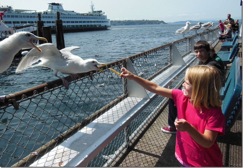 Seattle Feeding Gulls