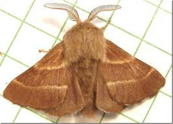tent moth